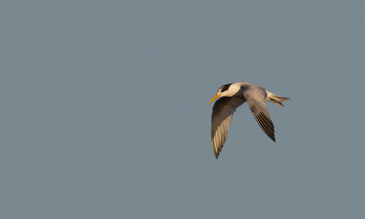 An Elegant Tern in flight at Bolsa Chica, California (10/6/2011). Photo by Bill Hubick.