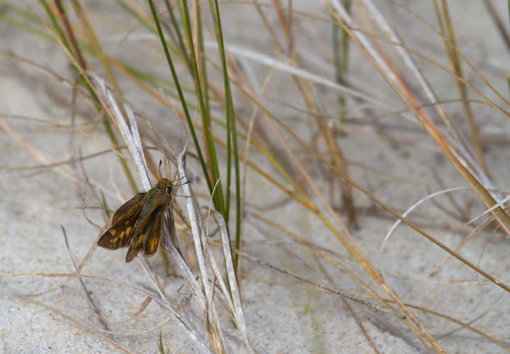 A lingering female Fiery Skipper on Assateague Island, Maryland (10/22/2011). Photo by Bill Hubick.