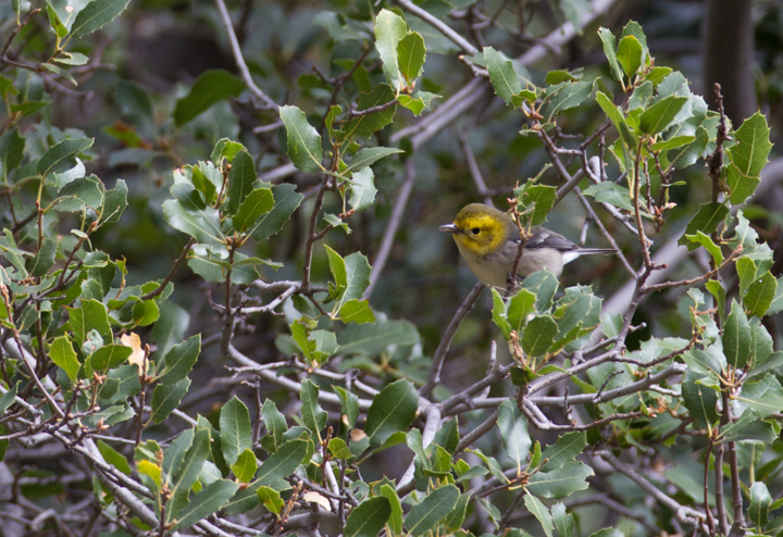 A Hermit Warbler near Hughes Lake, California (10/4/2011). Photo by Bill Hubick.
