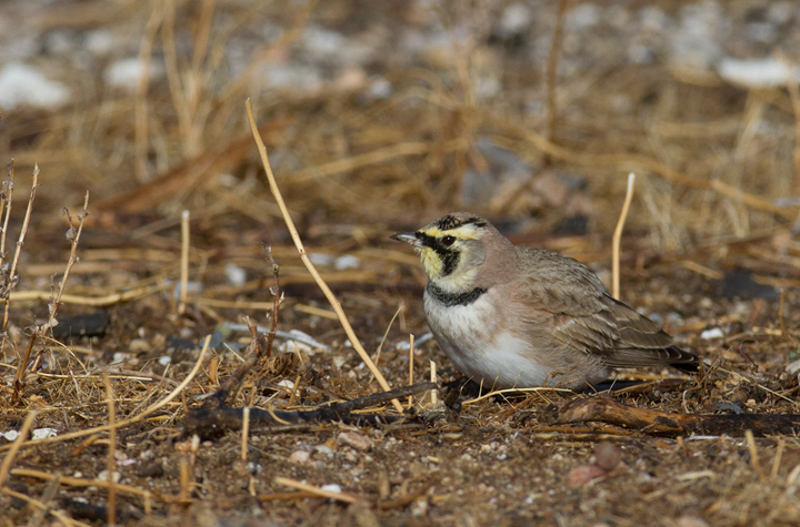 Horned Larks near Mojave, California (10/5/2011). Photo by Bill Hubick.