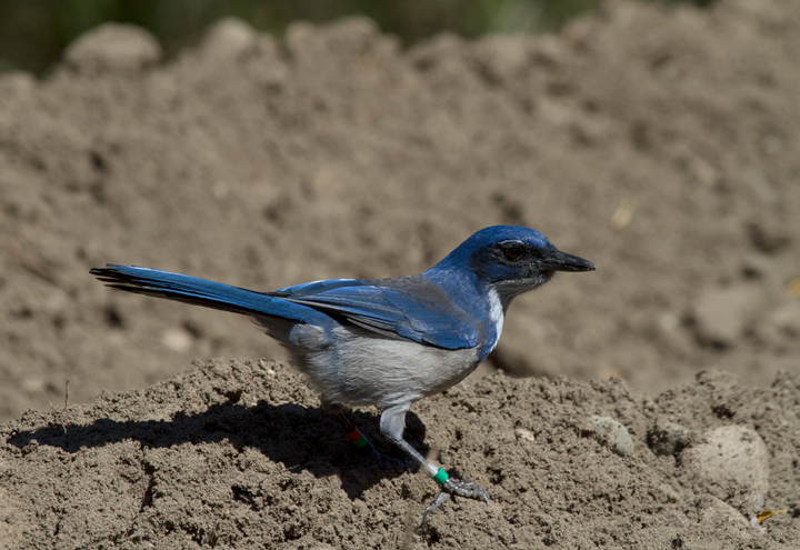 An Island Scrub-Jay on Santa Cruz Island, California. Among other features, this endemic species is distinctly brighter blue and has a much larger bill than its mainland relatives. Photo by Bill Hubick.