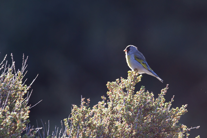 A distant male Lawrence's Goldfinch near Mt. Pinos, California (9/30/2011). Stay tuned for far better photos. A highlight of the trip was encountering a flock of 120 Lawrence's Goldfinches! Photo by Bill Hubick.