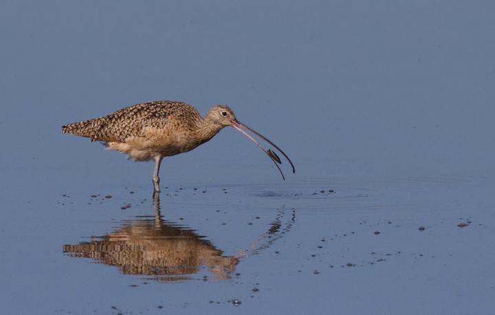 A Long-billed Curlew forages at Bolsa Chica, California (10/6/2011). Photo by Bill Hubick.