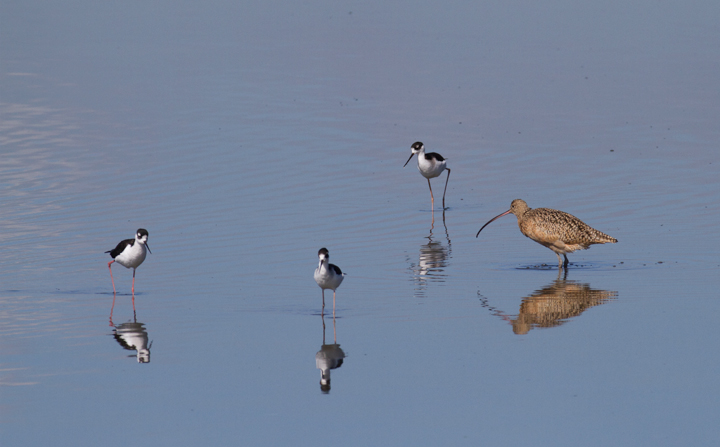 A Long-billed Curlew forages among Black-necked Stilts at Bolsa Chica, California (10/6/2011). Photo by Bill Hubick.