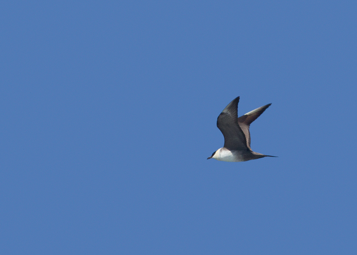 An adult Long-tailed Jaeger offshore in Santa Barbara Co., California (10/1/2011). Photo by Bill Hubick.