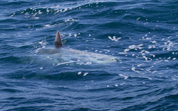 A Mola Mola, or Ocean Sunfish, off Santa Barbara, California (10/1/2011). Photo by Bill Hubick.