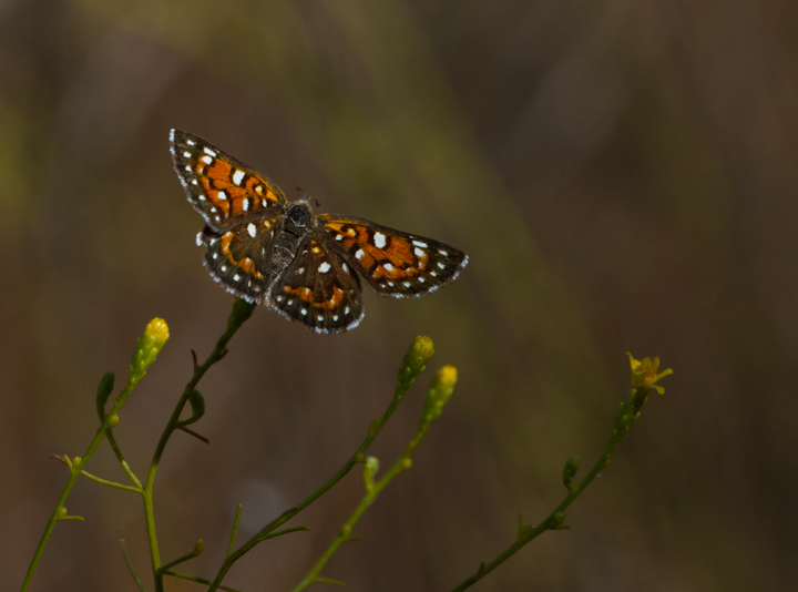 A Mormon Metalmark, my favorite new butterfly of the trip, found while searching for California Condors in Santa Barbara Co., California (10/1/2011). Photo by Bill Hubick.