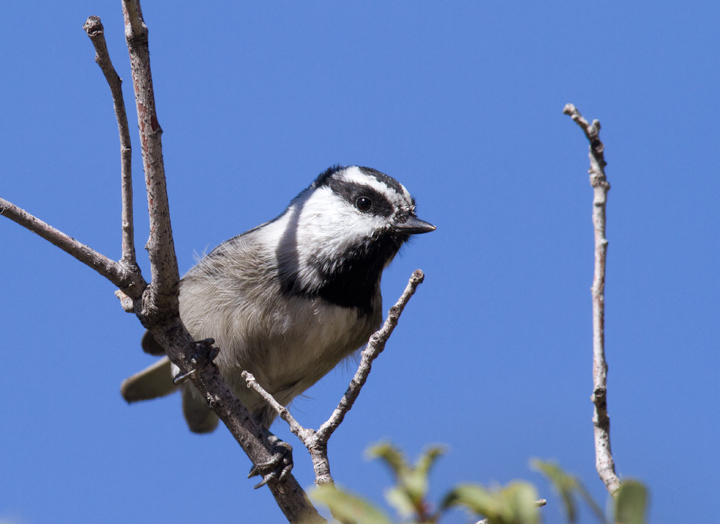 A Mountain Chickadee at Apache Saddle, California (10/4/2011). Photo by Bill Hubick.