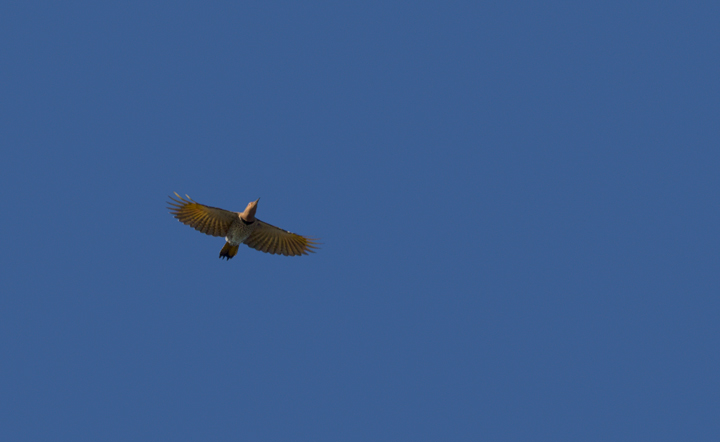 A Northern Flicker in flight over Assateague Island, Maryland (10/22/2011). Photo by Bill Hubick.