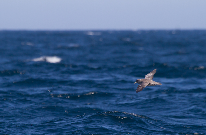 A Northern Fulmar off Santa Barbara, California (10/1/2011). Photo by Bill Hubick.