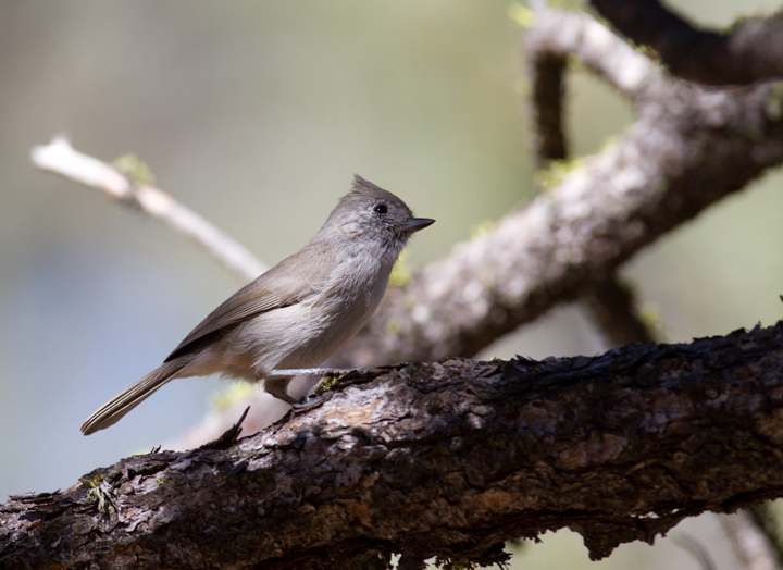 An Oak Titmouse in Santa Barbara Co., California (10/1/2011). Photo by Bill Hubick.