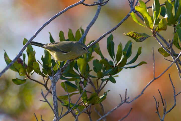 An Orange-crowned Warbler in Bayside Campground, Assateague Island, Maryland (10/16/2011). Photo by Bill Hubick.