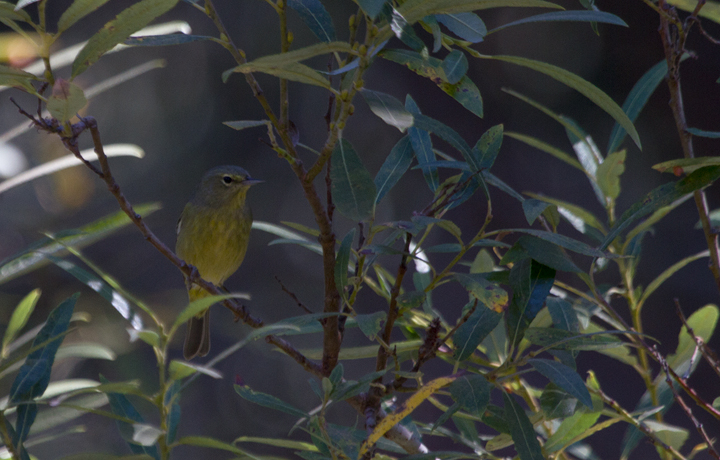 "The non-migratory ""Dusky"" subspecies of Orange-crowned Warbler (<em>O. c. sordida</em>) found on the Channel Islands and adjacent mainland - photographed near Prisoners Harbor, California (10/2/2011). Photo by Bill Hubick."
