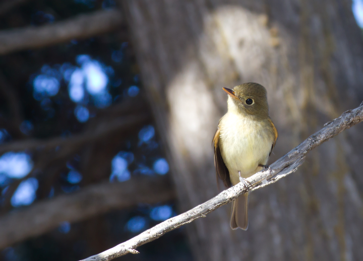 A Pacific-slope Flycatcher at Cabrillo NM, California (10/7/2011). Photo by Bill Hubick.