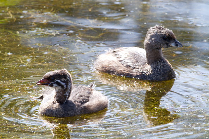 An immature Pied-billed Grebe with older bird at Malibu Lagoon, California (9/30/2011). Photo by Bill Hubick.