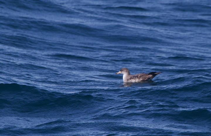 A Pink-footed Shearwater near the Channel Islands off Santa Barbara, California (10/1/2011). Photo by Bill Hubick.