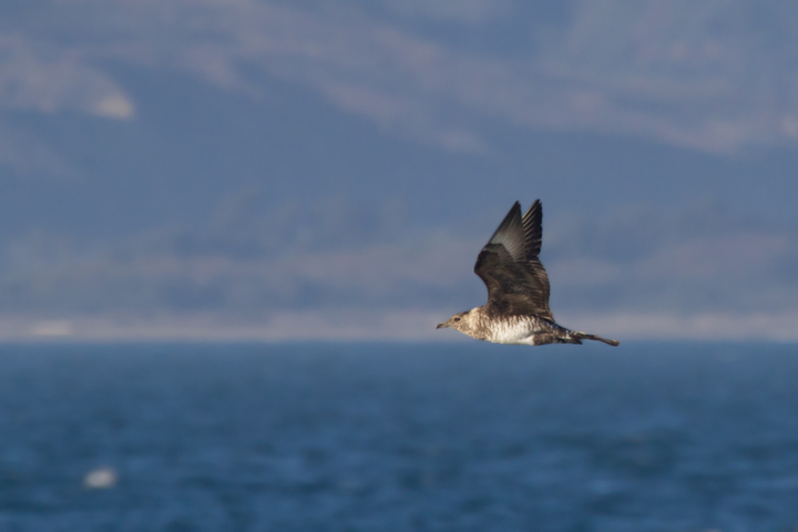 A Pomarine Jaeger off Santa Barbara, California (10/1/2011). Photo by Bill Hubick.