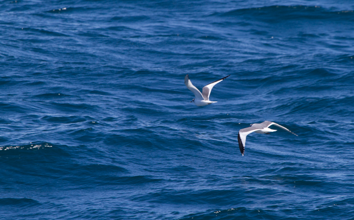 Sabine's Gulls offshore near the Channel Islands in Santa Barbara Co., California (10/1/2011). Photo by Bill Hubick.
