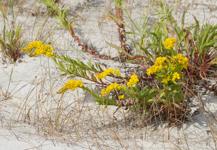 Seaside Goldenrod (<em>Solidago sempervirens</em>) on Assateague Island, Maryland (10/22/2011). Photo by Bill Hubick.
