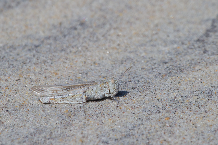 A Seaside Grasshopper (<em>Trimerotropis maritima</em>) blends in perfectly in the dunes on Assateague Island, Maryland (10/22/2011).  Photo by Bill Hubick.