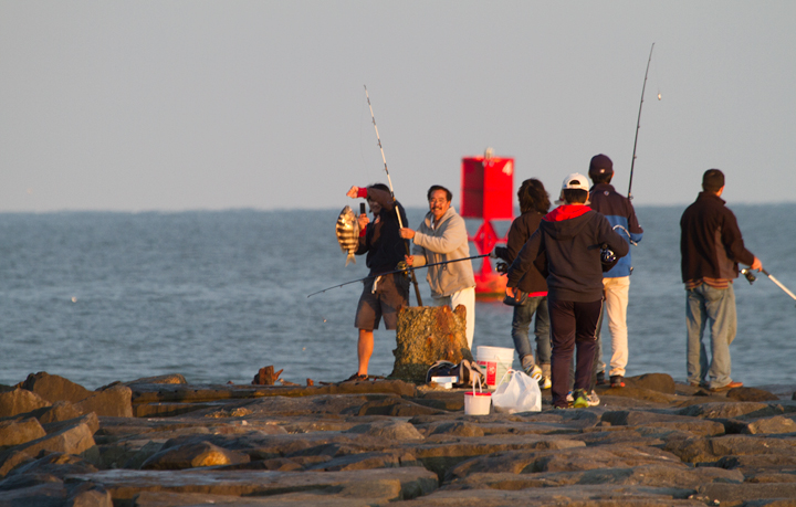 Fishermen haul out a Sheepshead at the Ocean City Inlet, Maryland (10/22/2011). Photo by Bill Hubick.