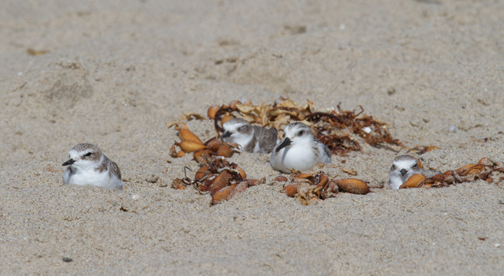 Snowy Plovers hanging out with a Sanderling Photo by Bill Hubick.