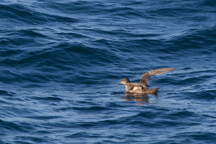 A Sooty Shearwater off Santa Barbara, California (10/1/2011). Completing huge figure-eight migrations along the shorelines of the continents, this species completes perhaps the longest migrations of any species. Photo by Bill Hubick.