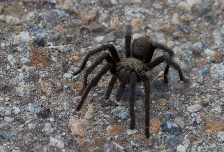 A tarantula near Mt. Pinos, California (10/2/2011). Photo by Bill Hubick.