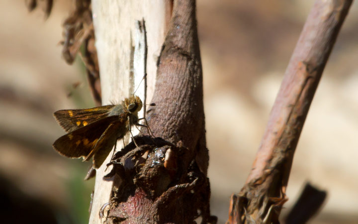 An Umber Skipper on Santa Cruz Island, California (10/2/2011). Photo by Bill Hubick.