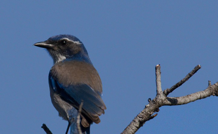 A Western Scrub-Jay at Cabrillo NM, California (10/7/2011).  Photo by Bill Hubick.