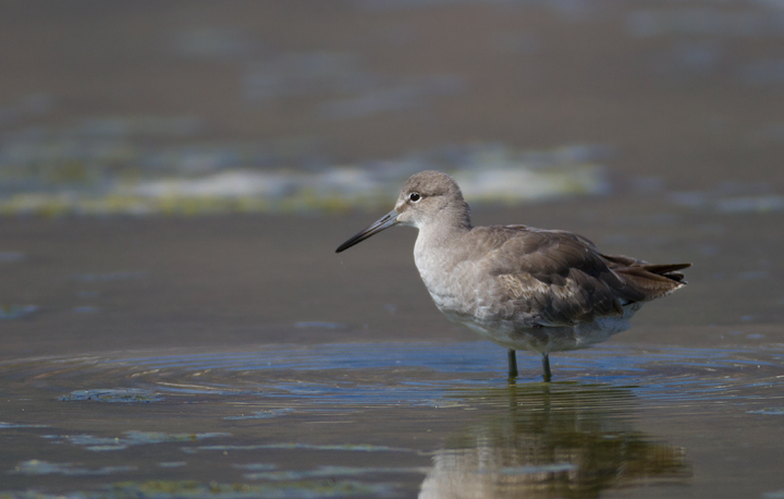A Western Willet at Malibu Lagoon, California (9/30/2011). Photo by Bill Hubick.