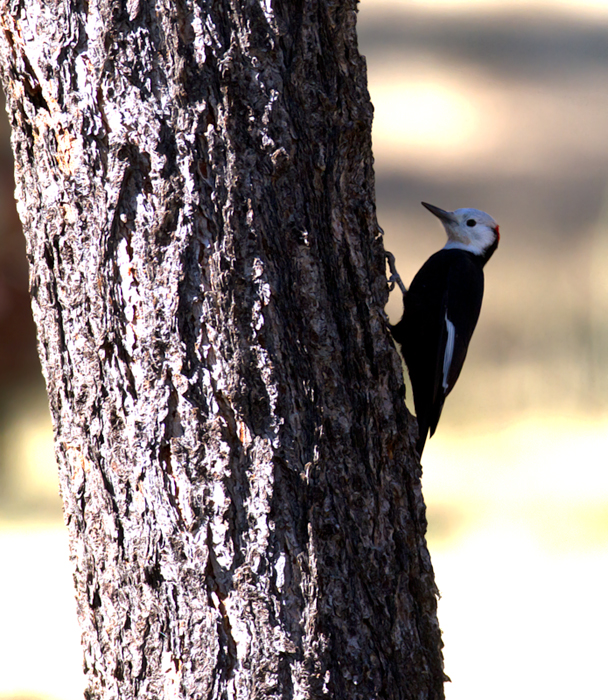 White-headed Woodpecker at Apache Saddle, California (9/30/2011). Photo by Bill Hubick.