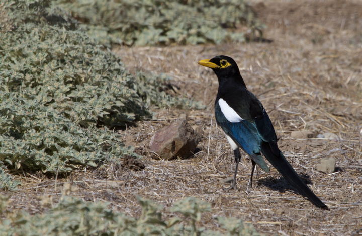 No southern California trip would be complete without tracking down a few Yellow-billed Magpies - Santa Barbara Co., California (10/1/2011). Photo by Bill Hubick.