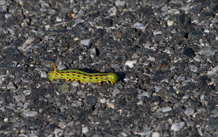 A White-lined Sphinx moth caterpillar on Assateague Island, Maryland (11/13/2011). Photo by Bill Hubick.