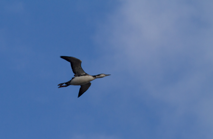 A Common Loon in flight over Assateague Island, Maryland (12/3/2011). Photo by Bill Hubick.