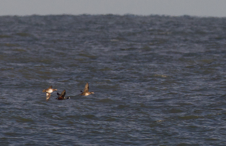 Harlequin Ducks flying past the Ocean City Inlet, Maryland (12/3/2011). Photo by Bill Hubick.
