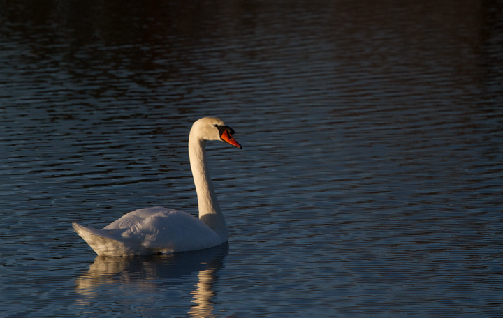 Adult and immature Mute Swans stopping in at Fort Smallwood Park, Maryland (11/24/2011). Photo by Bill Hubick.