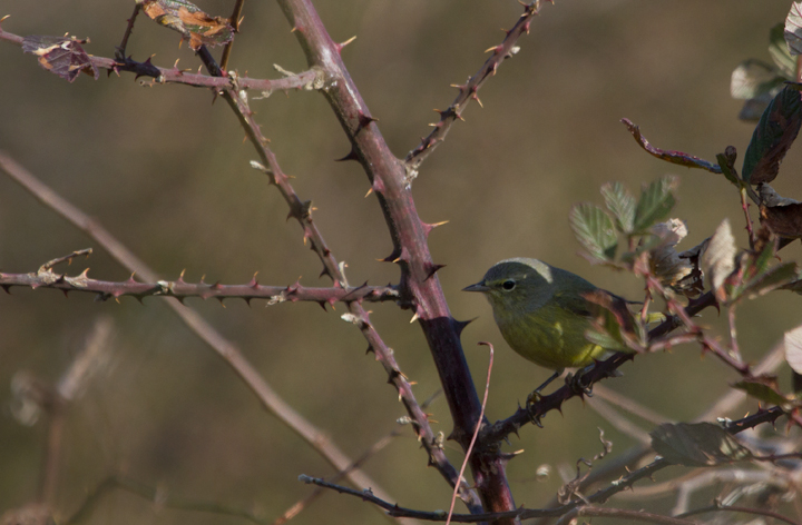 One of two Orange-crowned Warblers we found on Assateague Island today (12/3/2011). Photo by Bill Hubick.