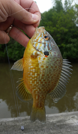 A Pumpkinseed in Baltimore Co., Maryland