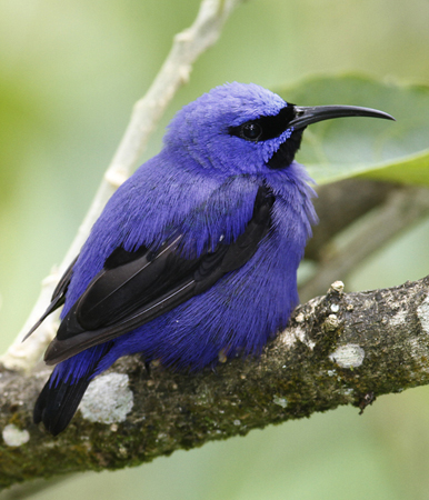 Purple Honeycreeper in Trinidad