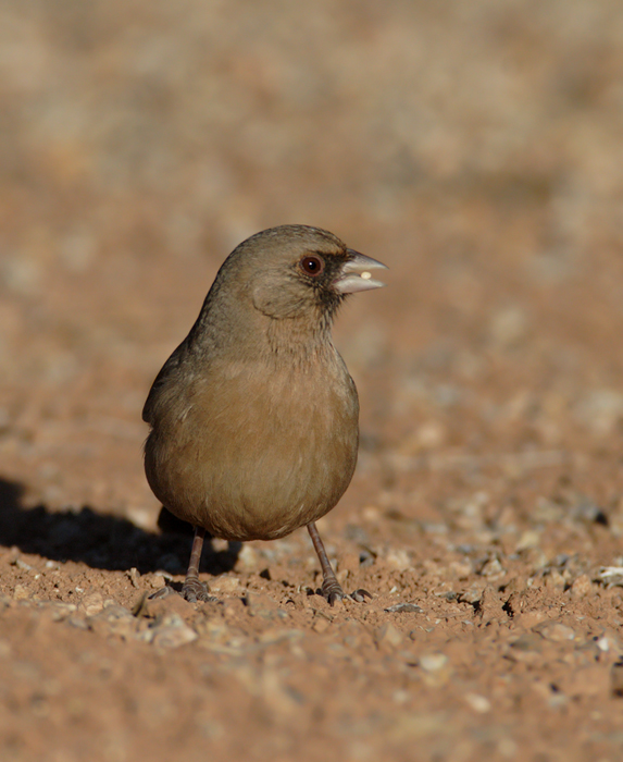 An Abert's Towhee at Gilbert Water Ranch, Arizona (1/6/2007). Photo by Bill Hubick.