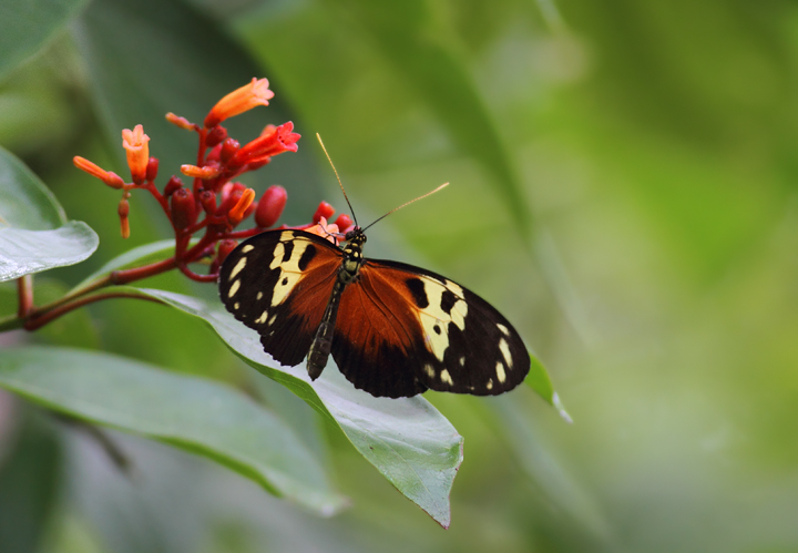 An Anderida Longwing (<em>Heliconius hecale anderida</em>) in central Panama (July 2010). Photo by Bill Hubick.
