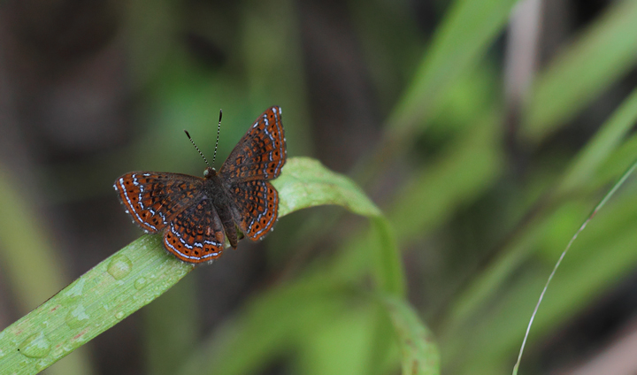 A Schaus's Metalmark (<em>Calephelis schausi</em>) near Gamboa, Panama (July 2010). Photo by Bill Hubick.