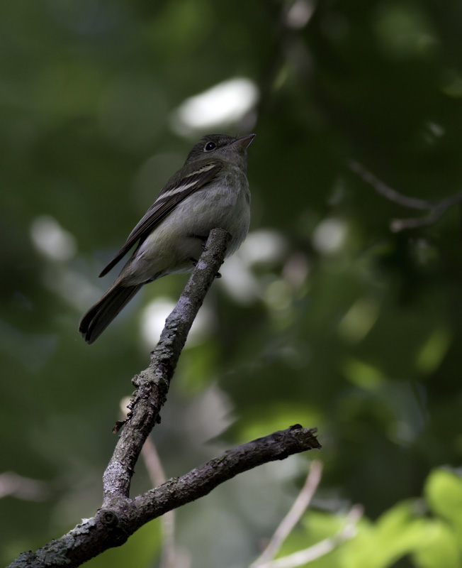 An Acadian Flycatcher in the Nassawango area of Wicomico Co., Maryland (5/11/2011). Photo by Bill Hubick.
