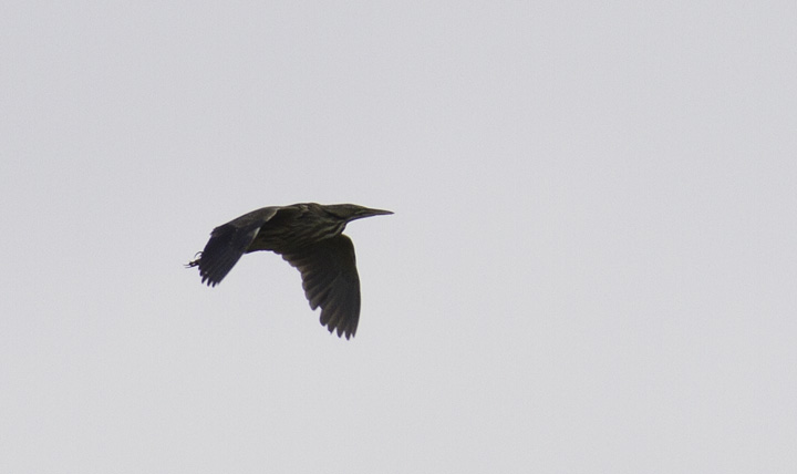 An American Bittern in flight - Frederick Co., Maryland (4/17/2011). Photo by Bill Hubick.