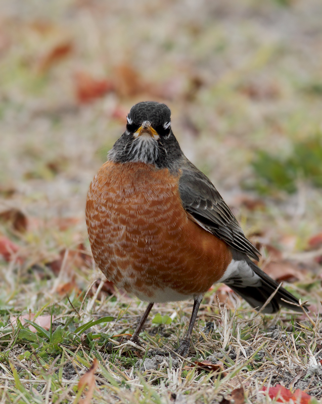An American Robin at Bayside Campground, Assateague (11/11/2010). Photo by Bill Hubick.