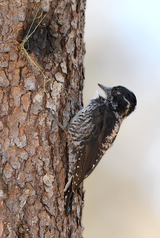 An American Three-toed Woodpecker foraging in a burn area on Mount Hood, Oregon (9/2/2010). This species, like Black-backed Woodpecker, specializes in habitat with many recently dead conifers, especially burns. Click any of the habitat photos to view larger versions. Photo by Bill Hubick.