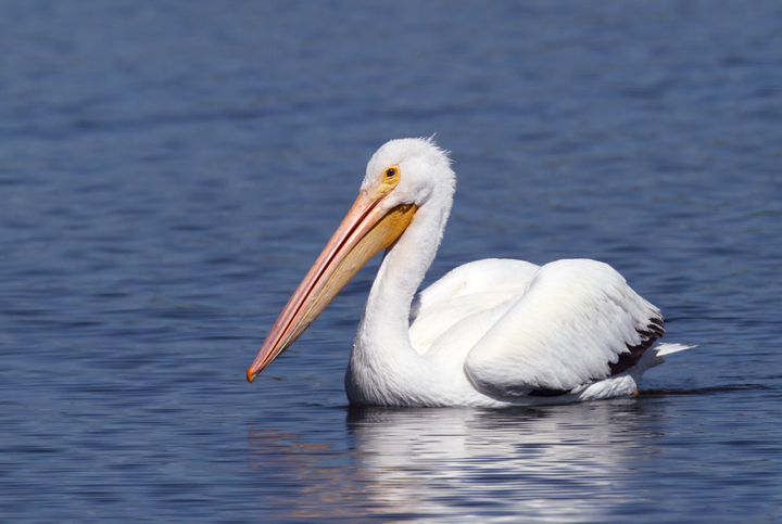 An American White Pelican at Nine-Mile Pond in the Everglades (2/26/2010). Photo by Bill Hubick.