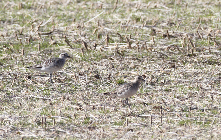 A comparison of Black-bellied Plover (left) and American Golden-Plover (right). A flock of over 200 plovers, including at least 8 American Golden-Plovers, continued from 11/11 to at least 11/14. (Berlin, Maryland, 11/11/2010). Photo by Bill Hubick.