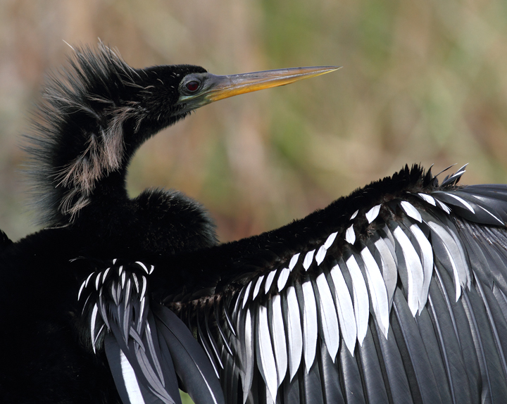 Anhingas enjoying the good life in the Everglades (2/26/2010). Photo by Bill Hubick.